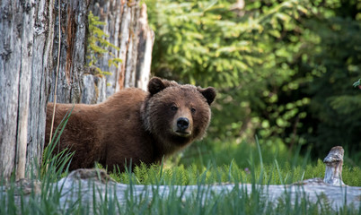 Brown Bear Staring