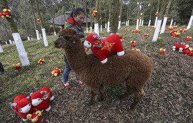 A zookeeper places a goat-shaped doll onto the back of an alpaca during a celebration event for the upcoming Spring Festival, at a wildlife park in Kunming
