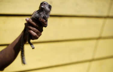 """A woman holds a black-tufted marmoset (Callithrix penicillata) monkey, known as """"Mico-estrela"""" in Portuguese, after it was fed milk at the Jaragua park in Sao Paulo"""