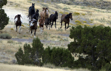 Wild horses run as they are gathered by the Bureau of Land Management in the Conger Mountains near Border in Utah