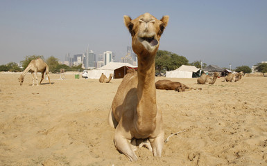 Camels are seen in a farm with the skyline of Doha in the background