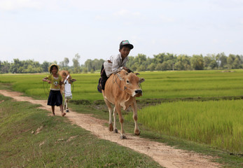 A boy rides his cow on a paddy field as he returns back home in Svay Rieng