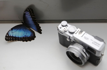 A living Morpho amathonte butterfly rests by a small camera in the studio of photographer Alexander James in London