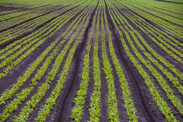 row of celery plants growing in muck field