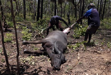 Australian Aboriginal Norman Daymirringu and friend James Gengi cut off the leg of a buffalo for food after they discovered it dead on the side of a dirt track on the outskirts of Ramingining in East Arnhem Land
