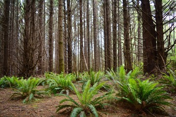 Redwood Forest and Ferns