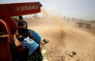 Farmers use a threshing machine as they harvest their wheat crop in Qaha, El-Kalubia governorate, northeast of Cairo
