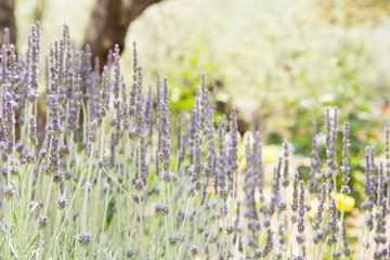 Poster de jardin Olive rich garden of lavendar