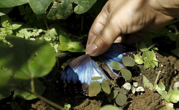 Jenny Viquez collects a dead Blue Morpho butterfly at Blue Morpho Butterfly House in Alajuela