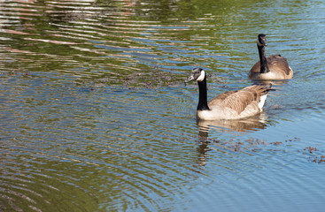 Swimming couple of Canadian geese
