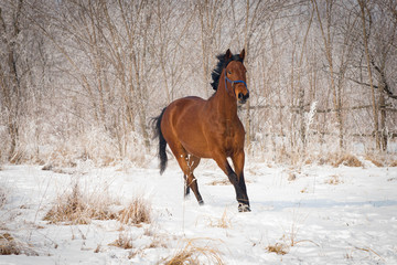 Brown horse running through a snowy pasture