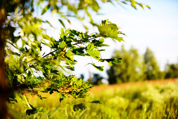 Beautiful Maple Tree With Green Leaves Close. Background natural meadow