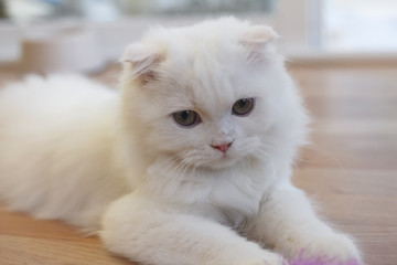 White cute Scottish Fold cat