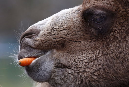 """A Bactrian camel eats a carrot thrown into his enclosure by visitors at wildlife park """"Opel Zoo"""" in Kronberg"""