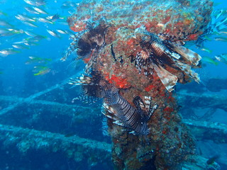 インド洋の沈船に群がるミノカサゴの集団