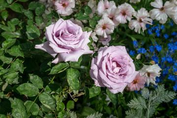 Spring flowers - 春の花々5 Light purple rose