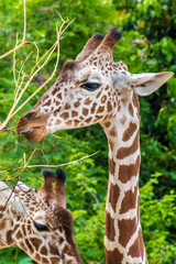 Giraffe yellow brown spots head safari wildlife