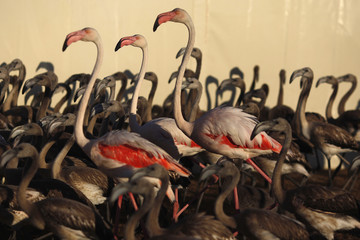 Flamingos and flamingo chicks are seen in a corral at the Fuente de Piedra natural reserve, near Malaga