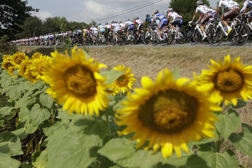 A pack of cyclist rides past rows of sunflowers during the 12th stage of the Tour de France 2011 cycling race from Cugnaux to Luz Ardiden