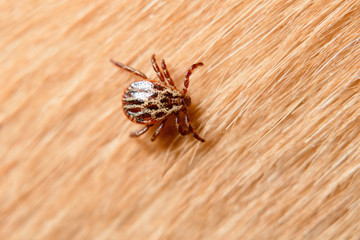 Forest mite on dog hair. tick