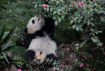 A baby giant panda plays at Chengdu Research Base of Giant Panda Breeding in Chengdu