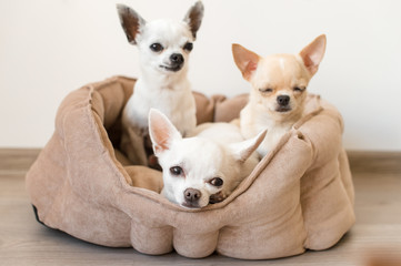Four lovely, cute and beautiful domestic breed mammal chihuahua puppies friends sitting and lying in dog bed on white background. Pets resting, sleeping indoor. Funny pathetic animals. Emotional faces