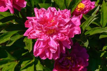 Pfingstrosenblüte in pink