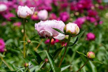 Pfingstrose sie Sommerblume
