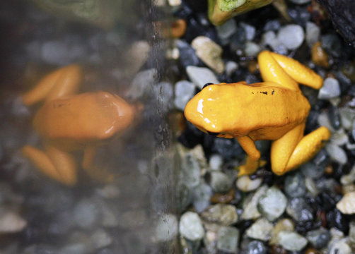n endangered poison frog is seen at the Santa Fe Zoo in Medellin