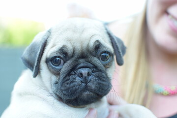 Percy The Pug