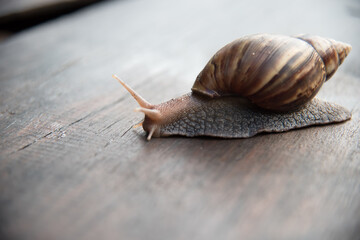 Snail dark brown with yellow on wooden floor.