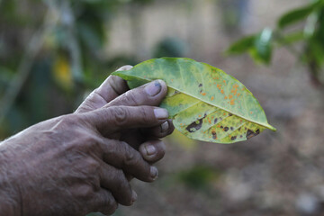 Gonzales, a coffee worker, shows a coffee leaf affected by a tree-killing fungus known as roya in Santa Rosa Lima