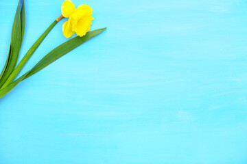Spring yellow narcissus on blue painted wooden planks with space for text
