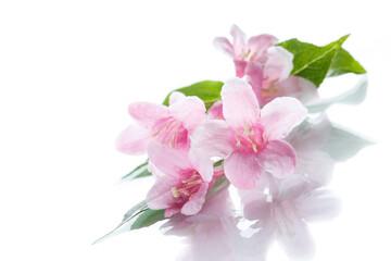 Beautiful flowers Weigela