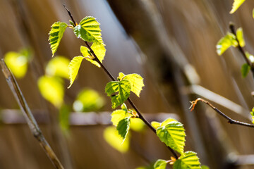 Horizontal image of lush early spring foliage - vibrant green spring fresh leaves of birch tree in spring