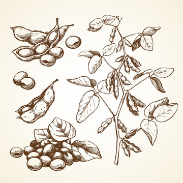 Hand drawn graphic sketch vector illustration set of soy beans