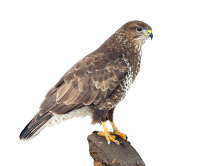 Common Buzzard (Buteo buteo) on white
