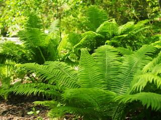 Fern in summer light very green