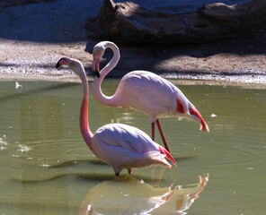 Two pink flamingos standing in the water .