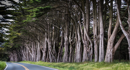 A Tunnel Grove of Montery Cypress Trees