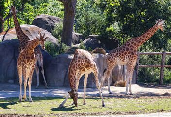 Giraffes against the nature background.