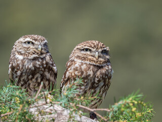 Couple of little owls (Athene noctua)  with big eyes in their natural habitat