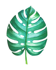 Watercolor painting of philodendron leaf isolated on white background