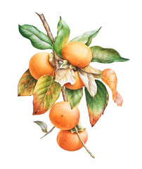 Watercolor botanical illustration of the persimmon tree branch with fruits and leaves