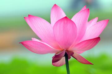 Garden Poster Lotus flower Blossom lotus fkower