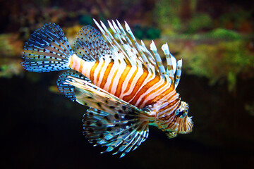Poisonous Lionfish. Pterois volitans.