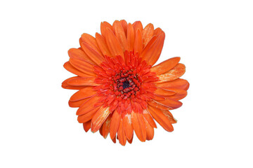 Wall Mural - Chrysanthemum Flower isolated on white background