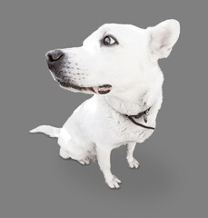 Sitting white dog close-up on a gray background.