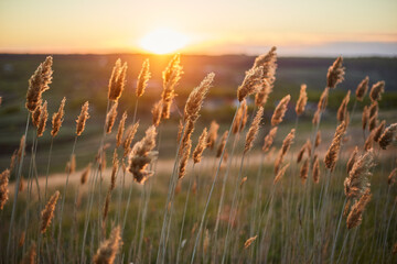 Dry plants crouch in the field in the wind during sunset.