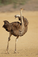 Female ostrich (Struthio camelus) in natural habitat, Kalahari desert, South Africa.